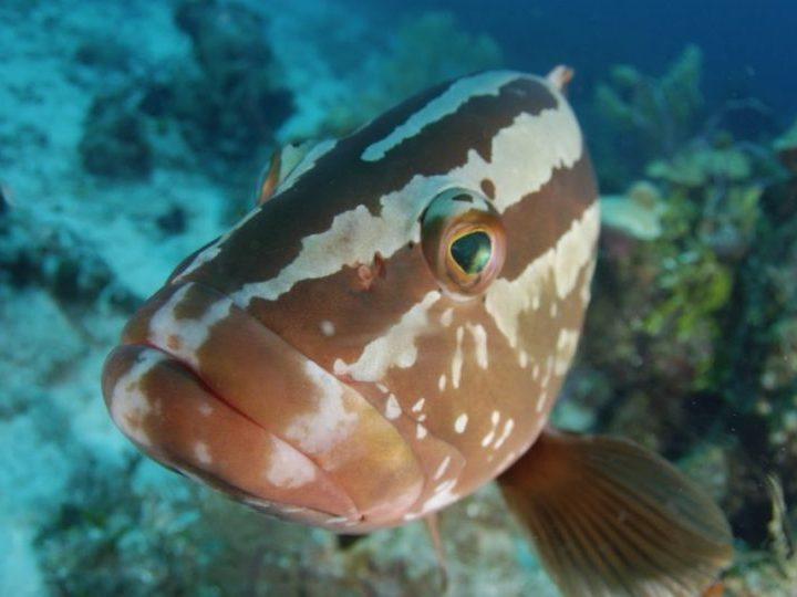 Nassau Grouper-BREEF